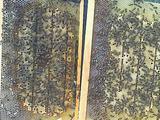 Пчели пасика