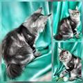 Продается котенок породы Курильский бобтейли
