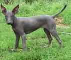 Ксолоитцкуинтли(мексиканская голая собака)